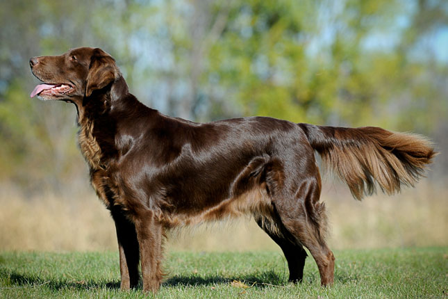 Flat Coated Retriever Information Dog Breeds At Newpetowners